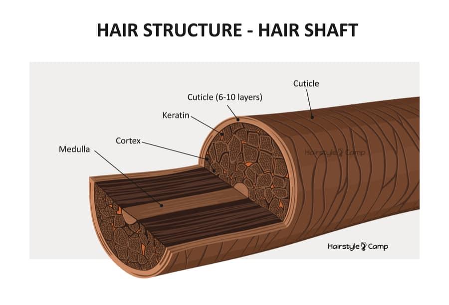 Кутикула волос строение