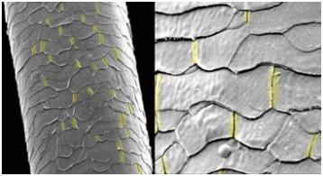 Продольные трещины чешуек кутикулы после многократной сушки феном