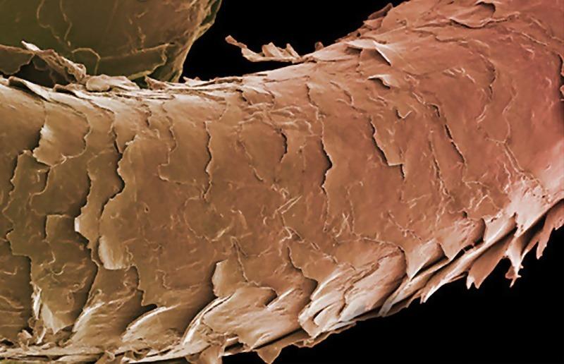 Структура кудрявого волоса под микроскопом