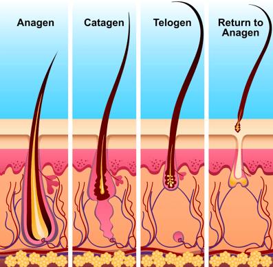 Цикл роста человеческих волос