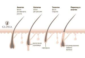 циклы роста волос