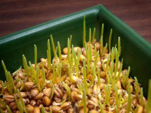 ростки зародышей пшеницы