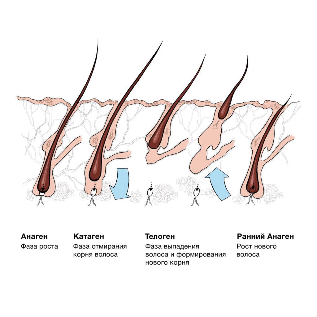анаген катаген телоген человека