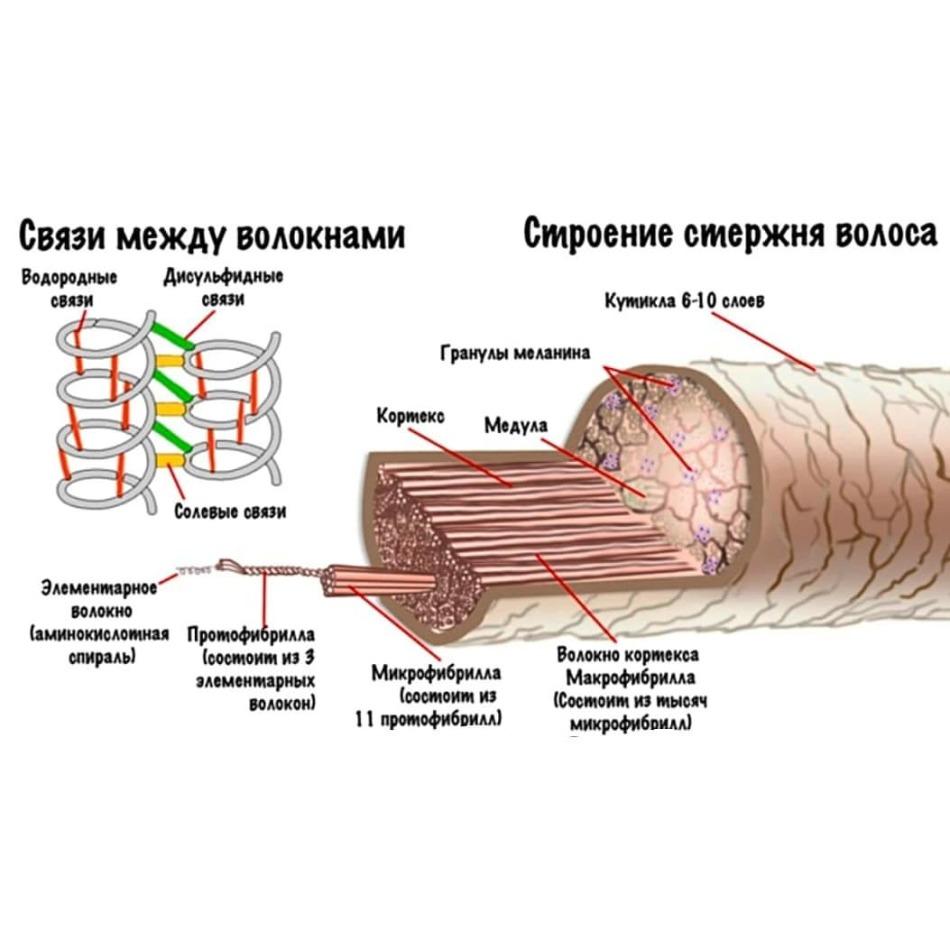Структура волос человека